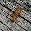 Dragonfly larvae exoskeleton