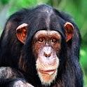 3D Orangutan logo