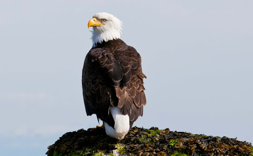 """JD Lasica: """"I'm still astonished that this bald eagle let me drift within 20 feet of him while I was kayaking off Cortes Island, British Columbia."""""""