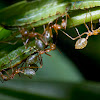 Green ants and caterpillars