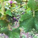 Chambourcin grape
