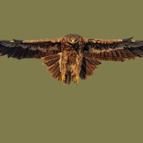 steppe eagle by Raj Dhage - Animals Birds ( bird, fly, flight )