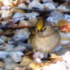 Golden-crowned Sparrow (nonbreeding)