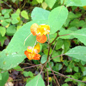 Jewelweed, touch-me-not