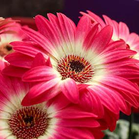 Bicolor Gerbera by Laura Robles - Flowers Flower Gardens ( purple, gerbera, bicolor, flower, eye,  )