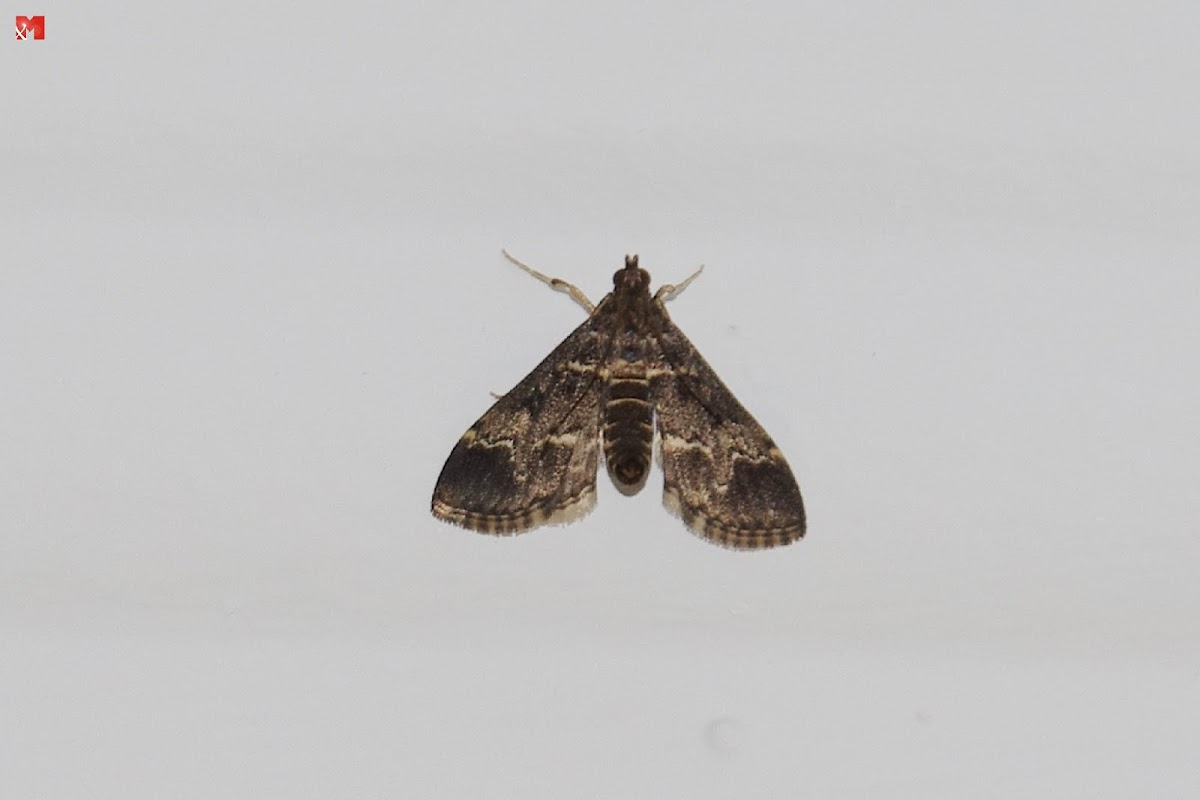 Red Underwing