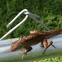 Brown or Bahaman Anole