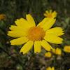 golden marguerite; camomila amarilla
