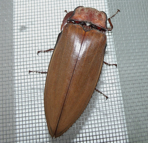 17bbb62f3eb Giant Click Beetle