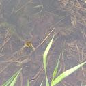 American green frog