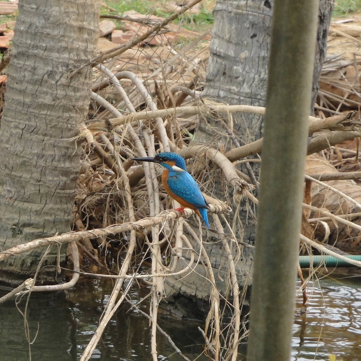 Small-blue Kingfisher