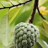 Sugar Apple / Custard Pineapple / Srikaya (Ind)