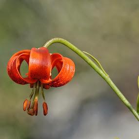 Giglio pomponio by Roberta Sala - Flowers Flowers in the Wild ( orange, wild, orange flower, macro, nature, flower )