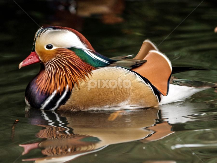 Floating by Garry Chisholm - Animals Birds ( bird, garry chisholm, nature, mandarin, duck, wildlife )