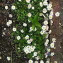 Common Fleabane or English Daisy