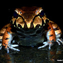 Smoky Jungle Frog