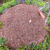 Scottish Wood Ant Nest