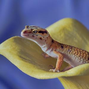 Orange Gecko yellow flower full1000.jpg