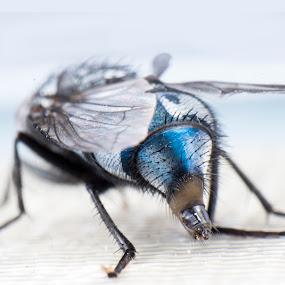 F12 Engine Made Of Steel by Blerim Havolli - Animals Insects & Spiders ( miza, flie, macro, havolli, blue, engine, blerim, norge, insect, flies,  )