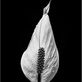 A flower study in B&W by Ian Damerell - Black & White Flowers & Plants ( black and white, flora, still life, fine art, flower )