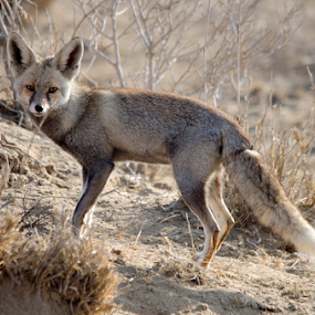 Desert Fox watching by Vijendra Parmar - Animals Other Mammals ( desert animals, fox, desert wildlife, wild fox, desert fox watching,  )
