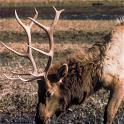 HD Elk Calls icon