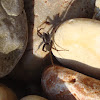 Domestic House Spider