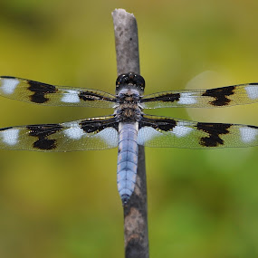 Prepare For Takeoff  by Ed Hanson - Animals Insects & Spiders ( wings, white, dragonfly, insect, black )
