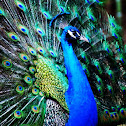 Indian or Blue Peafowl ♂