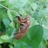 17 Year Cicada discarded skin
