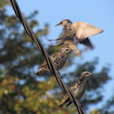 European Starling/Common Starling