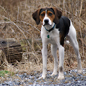 American Foxhound Dog logo