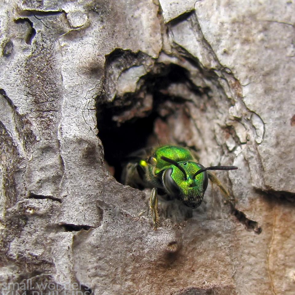 Metallic Green Bee - Nesting