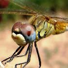 Libélula hembra amarilla , female yellow dragonfly