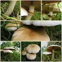 Poplar mushroom/Populierleemhoed