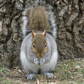 Pudgy by Erika  Kiley - Novices Only Wildlife ( tree, fall, fat, nuts, squirrel )