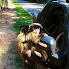 Black-striped capuchin (Macaco-Prego)