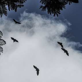 Bat-man and fiends by Peter Jerman - Animals Other Mammals ( clouds, sky, flying fox, friuts, mauritius, africa )