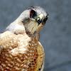 Cooper's Hawk( Part 1 of 4)