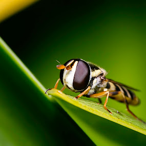 Hover Lines by Chris Gonzalez - Animals Insects & Spiders ( fly, wings, green, hover, yellow, leaf, insect, eye,  )