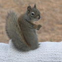 Boreal Red Squirrel
