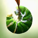 Common Lime Caterpillar