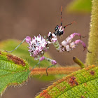 Spiny Flower Mantis (Nymph)