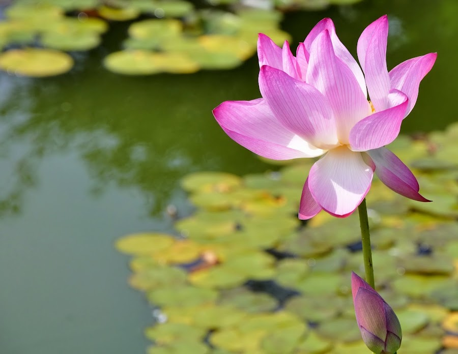 pink lotus flower by Suzanne Handel - Flowers Flowers in the Wild ( plant, lotus, pink, blossom, flower,  )
