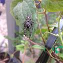 Ludicra Jumping Spider