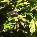 Common green bottle fly, groene vleesvlieg (dutch)