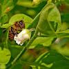 abelha-europeia .. Apis mellifera