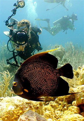 Cayman-Islands-French-Angel-Fish - A French angelfish in the Cayman Islands.