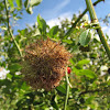 Mossy Rose Gall (wasp)