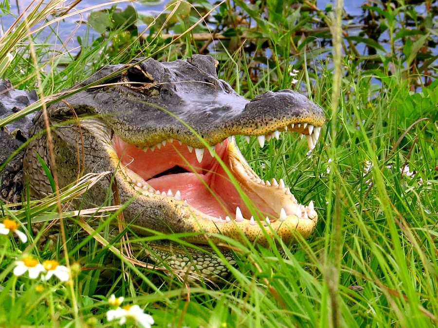 Gator Laughing by Howard Stockett - Animals Reptiles ( florida, everglades, american alligator, gator )